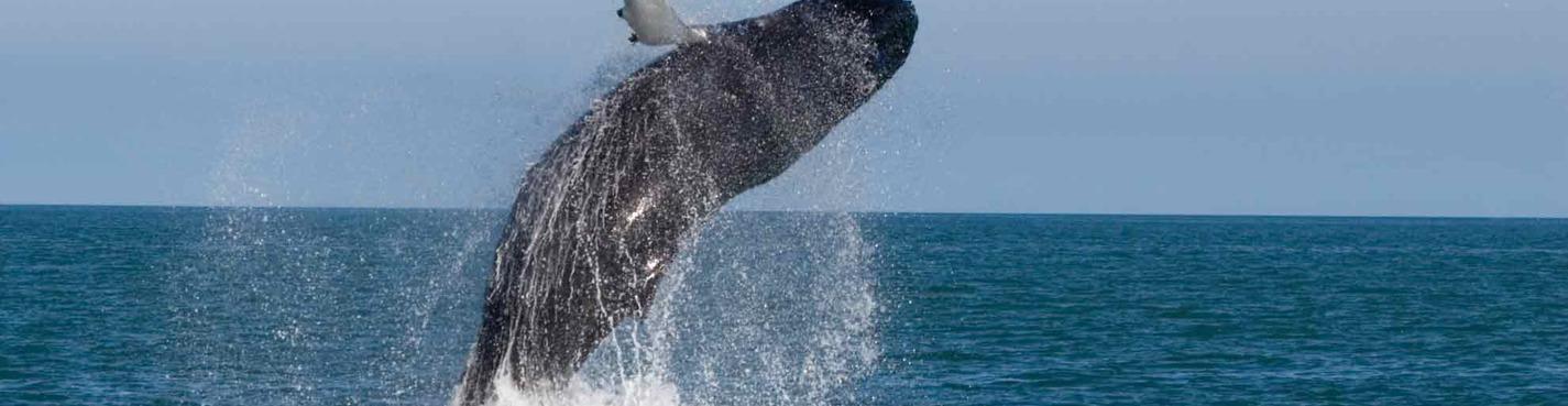 Наблюдение за голубыми китами