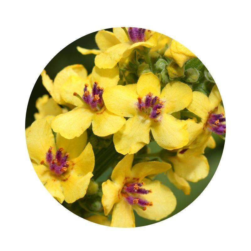 KÖNIGSKERZE Verbascum densiflorum Heilpflanzen Heilkräuter Lexikon Heilwirkung Wirkung