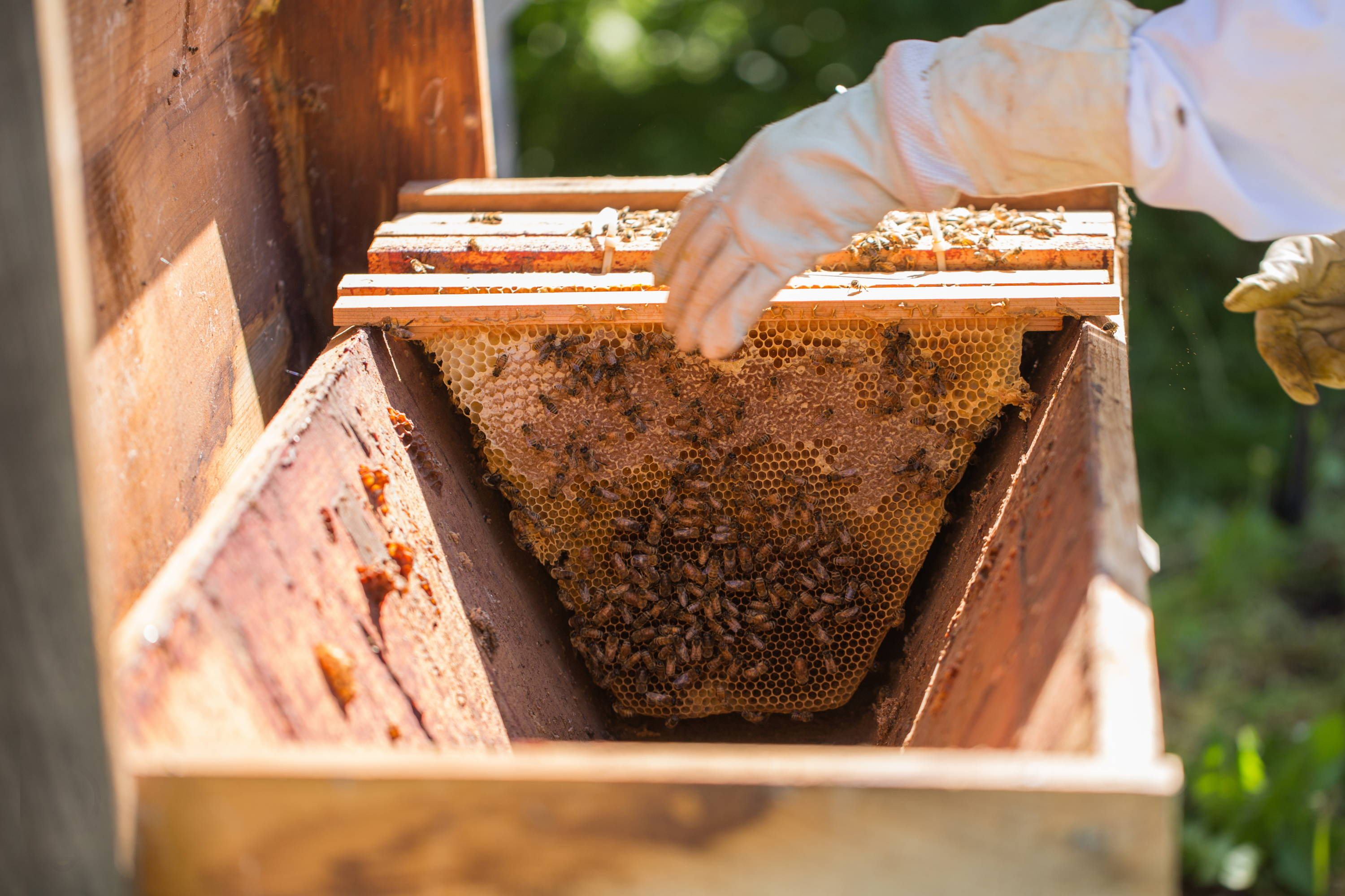 A Beekeeper And Honeybees With A Top Bar Hive