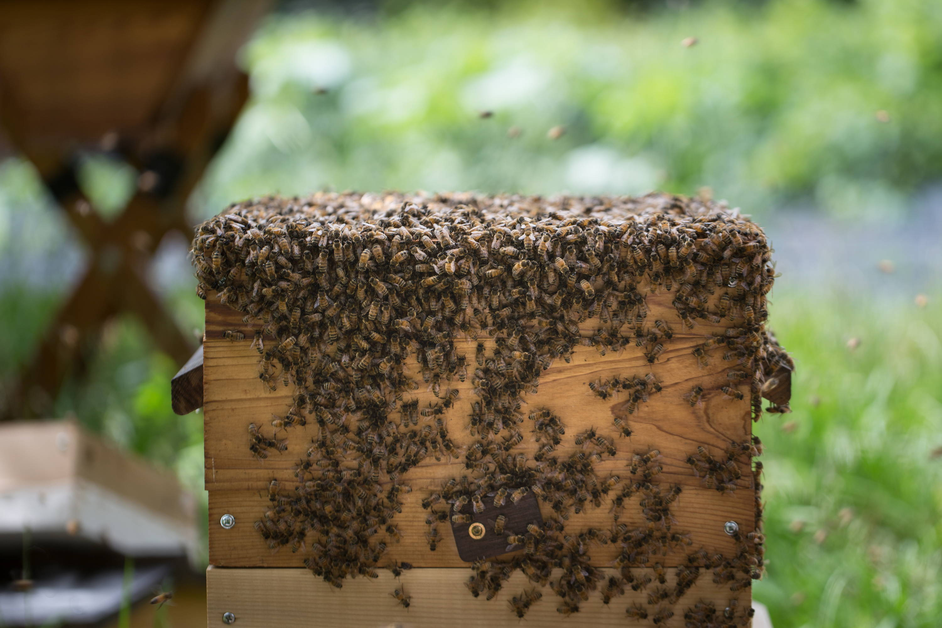 A warre hive box full of working bees