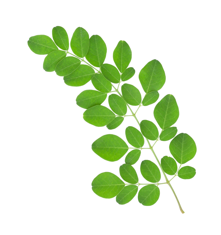 Moringaöl-Pflanze