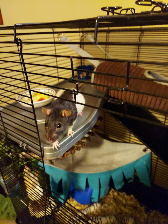 nani the fancy rat