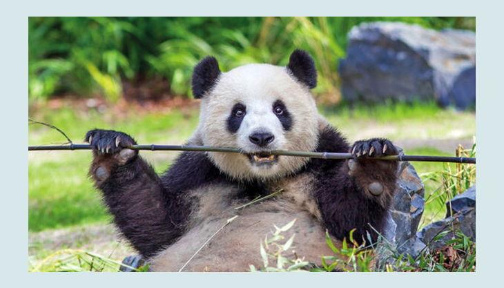 zoologischer garten berlin panda