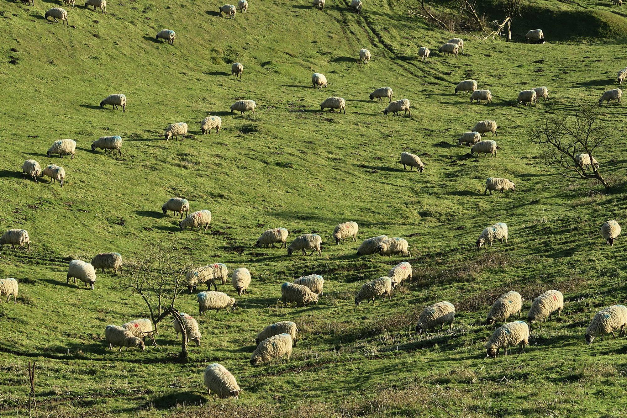 A heard of sheep with full wool coats grazing on a lush  grass field