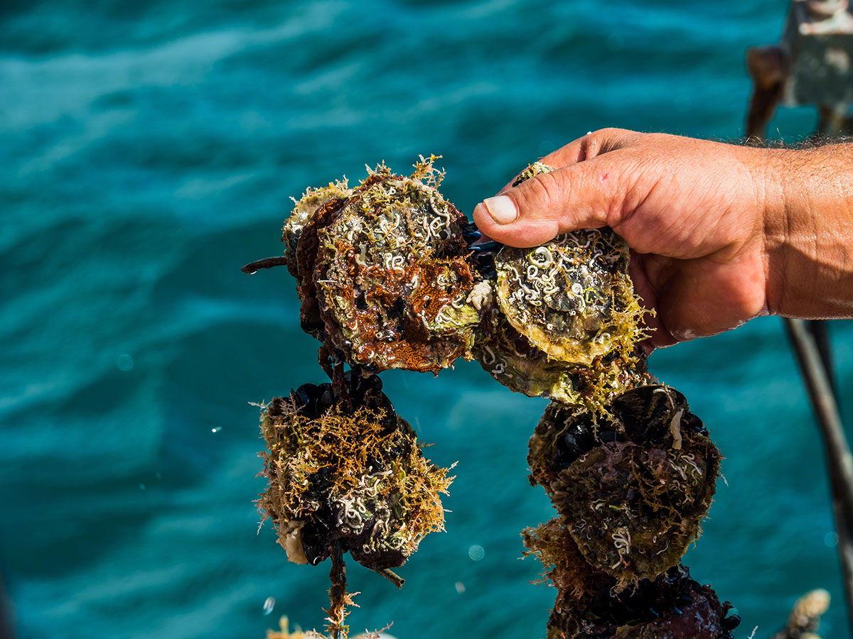 Akoya Oysters