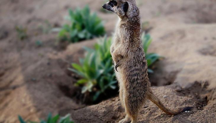 tiergarten nürnberg erdmännchen derlandschaftszoo beckmannuwe