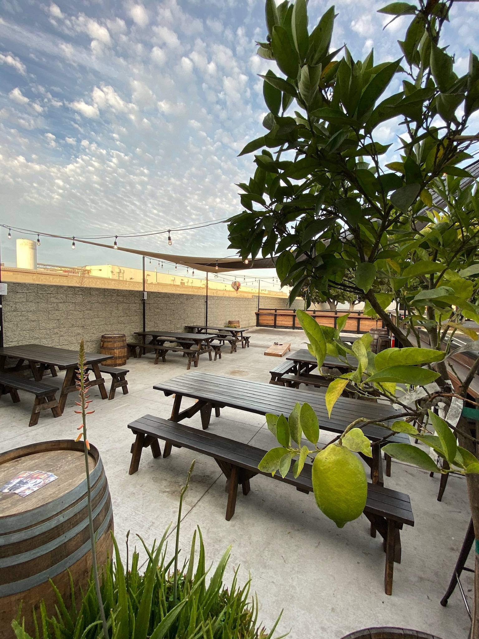 the taproom patio looks inviting and comfortable with picnic tables, cornhole game, cocktail barrel tables, perfect clouds above and a citrus tree in the foreground