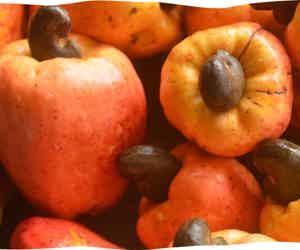 Massive Drop In Cashew Farming