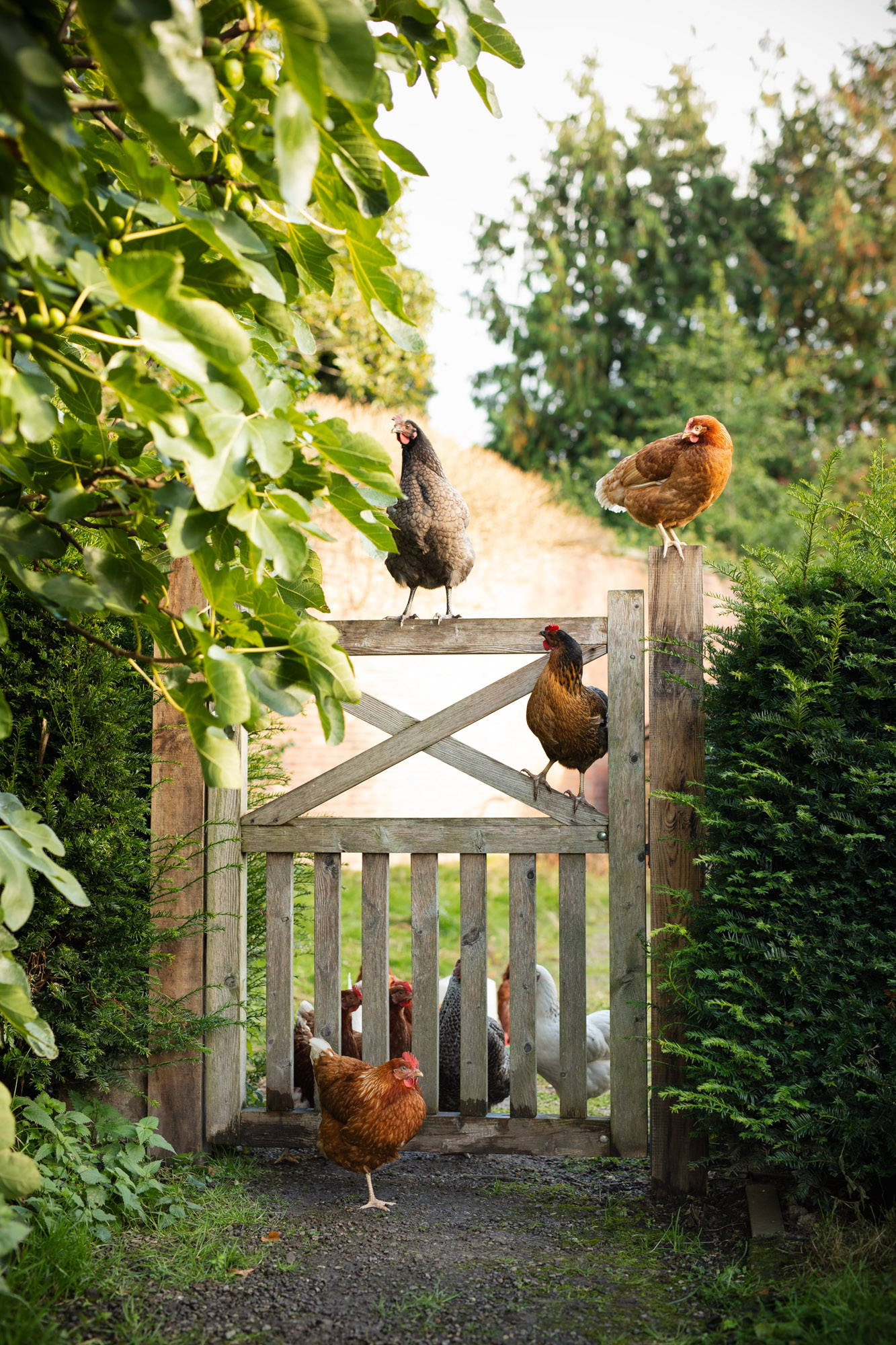 Chickens climbing over a gate