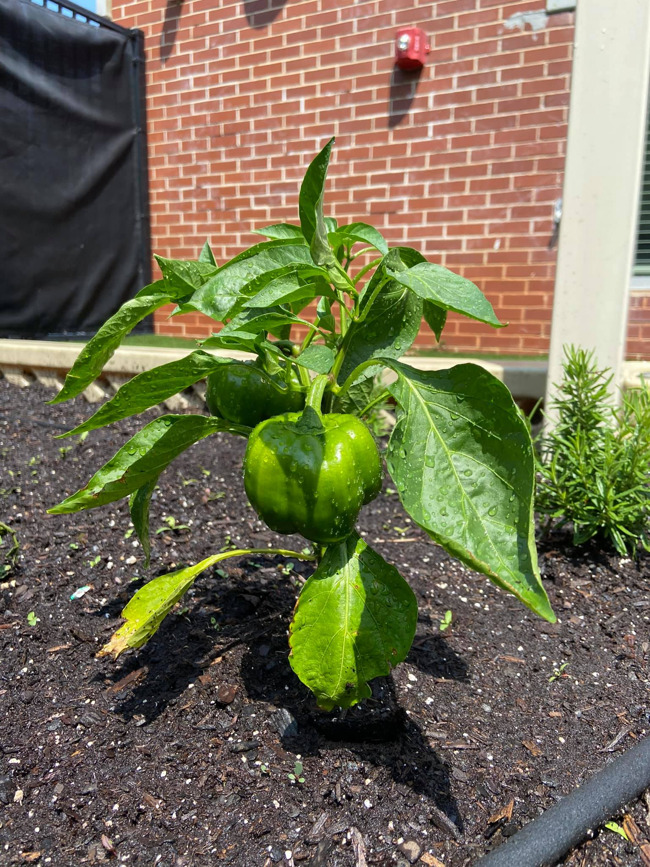 A lush, green garden pepper bursting with flavor and life!