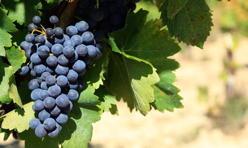Grapevine A Vitis Vinifera fruit extract, rich in mineral ingredients, sugars, vitamins
