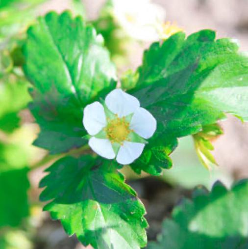 花酵母 いちごの花