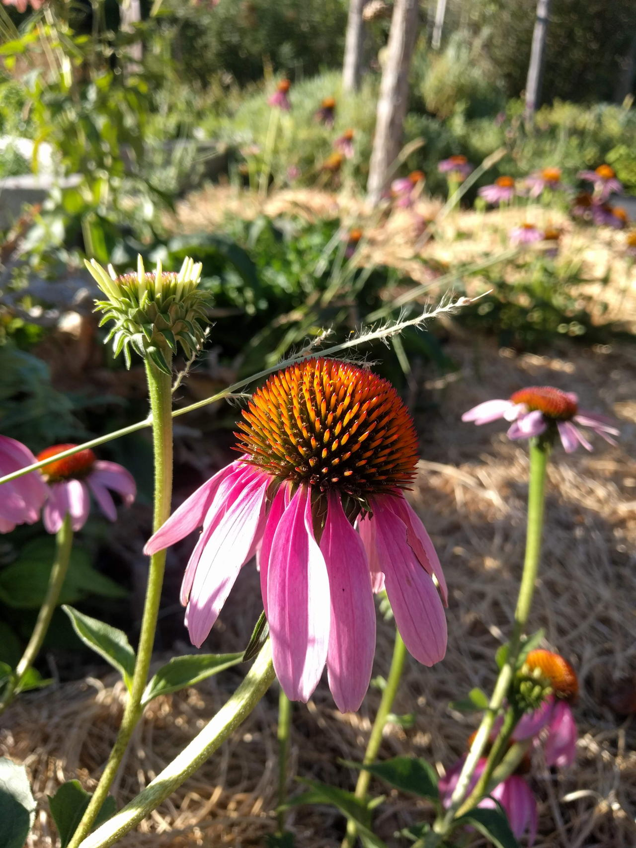 An echinacea bloom at Easy Bee Farm in Moab, Utah // read about what it's like to harvest at the farm on www.bridgidgallagher.com >>