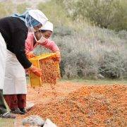 Sea buckthorn berry harvesters