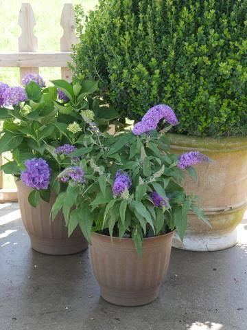 Pugster amethyst butterfly bush in a pot