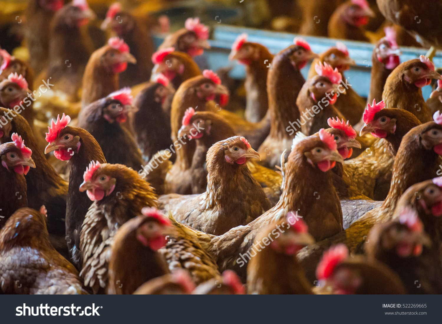 Poultry Sector Report India 2017