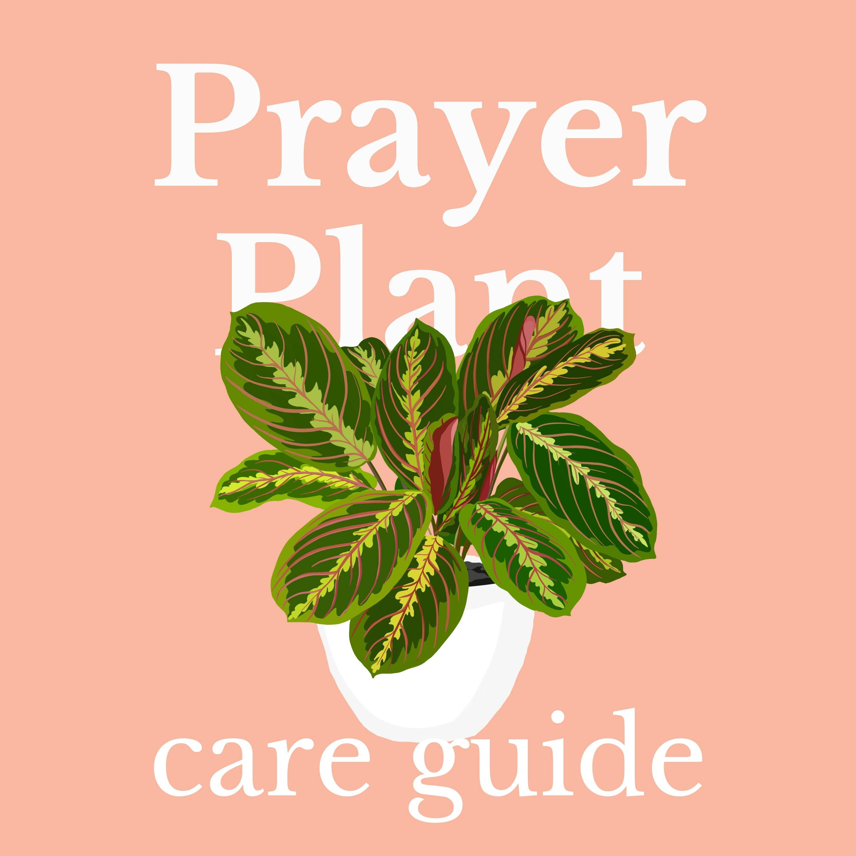 Drawing of Prayer Plant