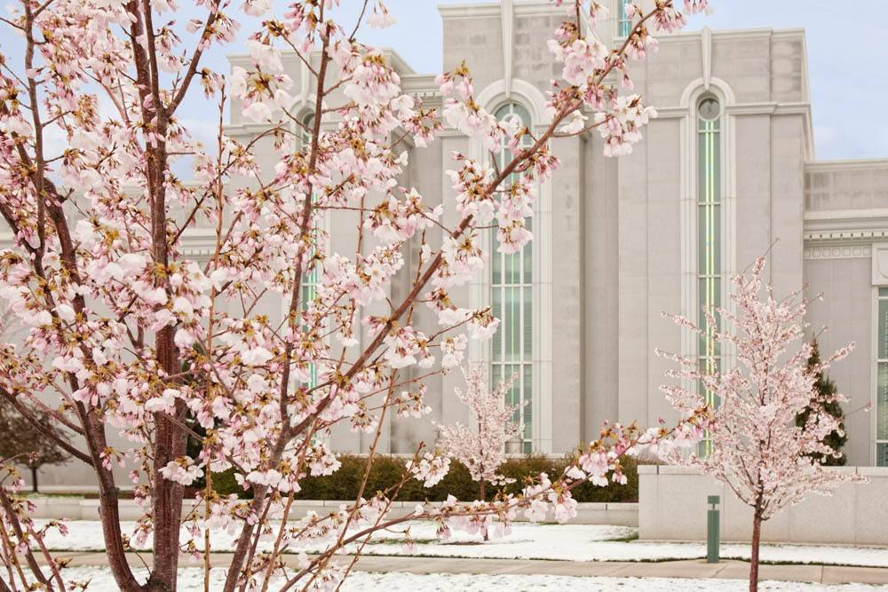 LDS art photo of cherry blossoms in front of the Mount Timpanogos Temple.