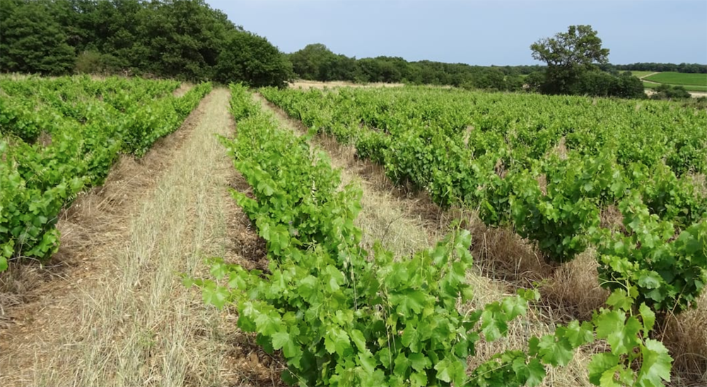 france, vin nature, rawwine, organic wine, vin bio, vin sans intrants, bistro brute, vin rouge, vin blanc, rouge, blanc, nature, vin propre, vigneron, vigneron indépendant, domaine bio, biodynamie, vigneron nature , marc-olivier bertrand, pézenas, languedoc