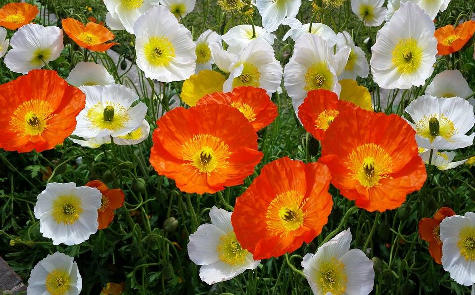How to care for cut poppies