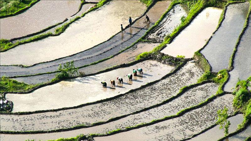 Rice fields in Bhutan