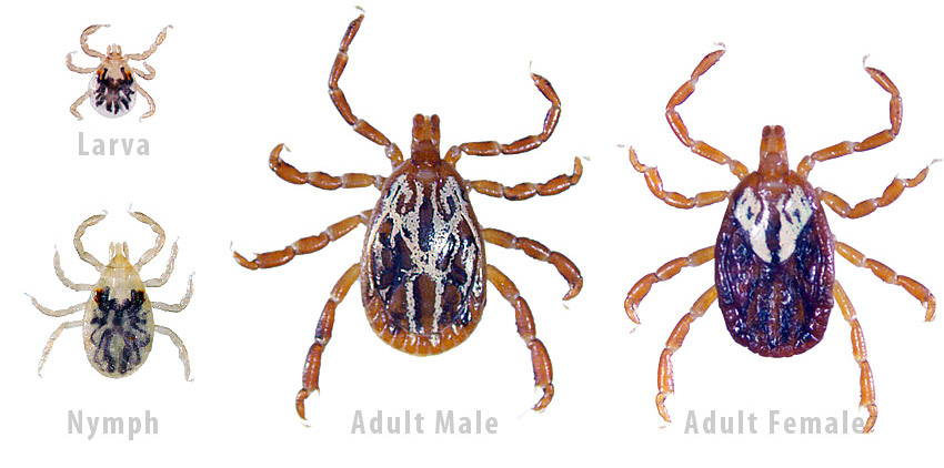gulf coast tick identification