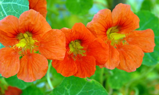 Nasturtium Soothes irritation and accelerates skin healing. It contains an enzyme