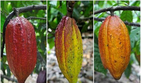 Different varieties of cacao Criollo, Forastero and Trinitario (left to right).