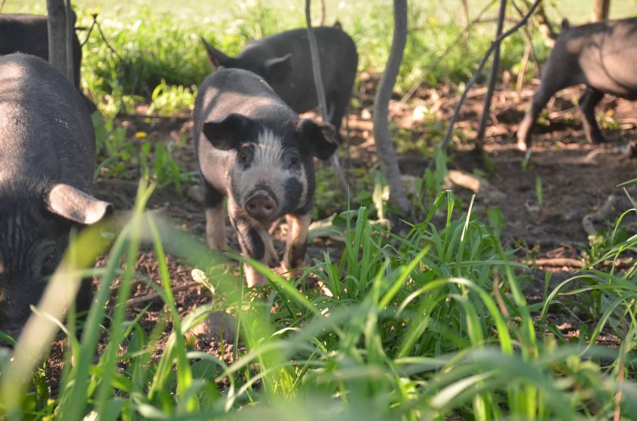 Pasture raised pork, guelph