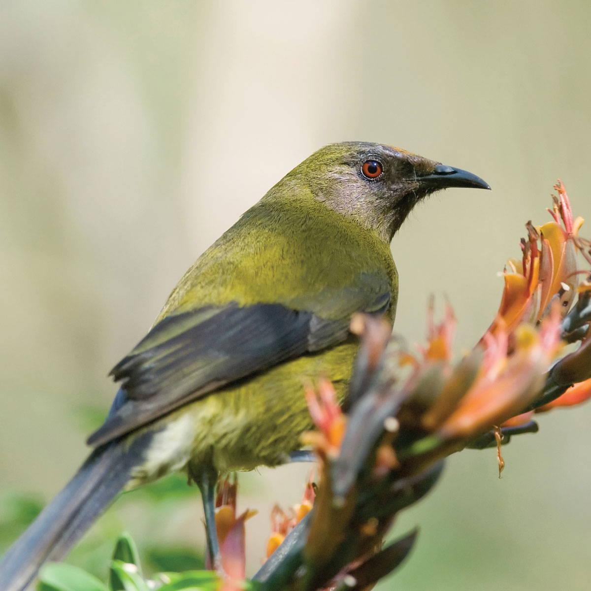 Topflite premium bird feed for bellbird