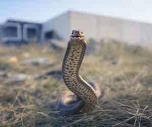 Crisis Behind Snake Bites