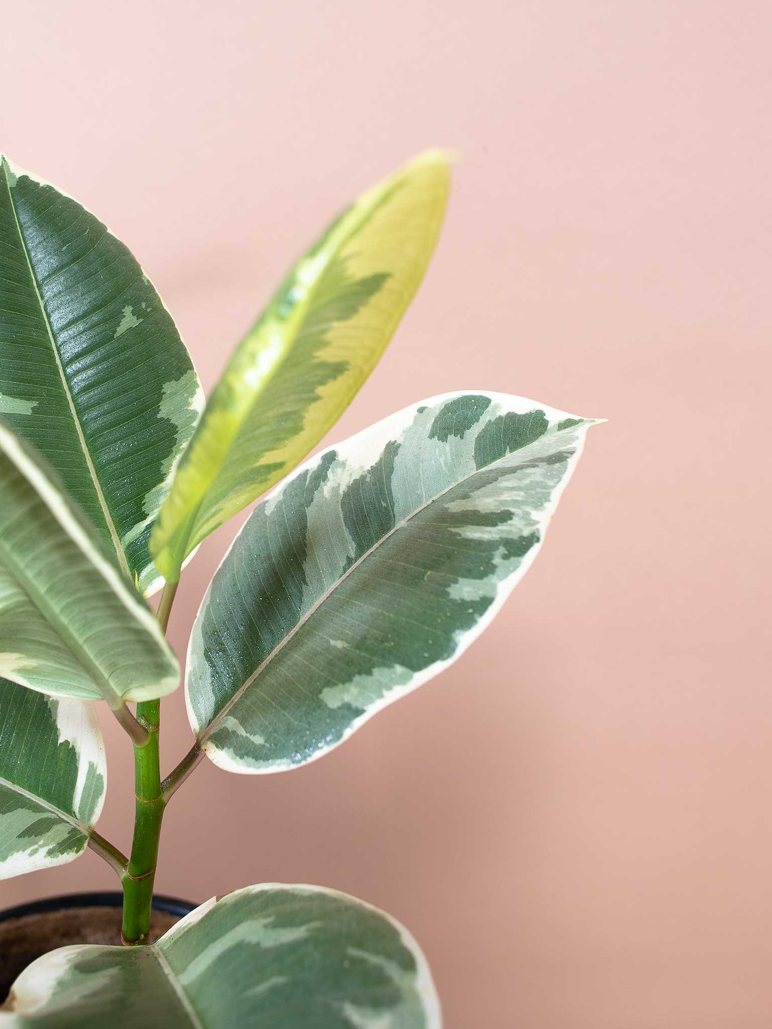Tineke rubber tree leaf
