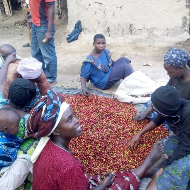People working with coffee cherries in Congo
