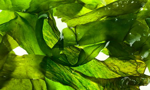 Wakame Algea Have nourishing, firming and anti-stretch-mark effects