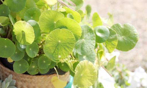 Centella Asiatica Accelerates skin healing, regenerates, inhibits ageing processes