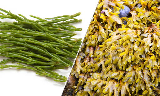 Focus and Sea Fennel