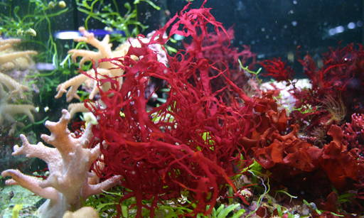 Calcareous red algae