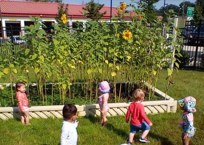 How tall are the Sunflowers