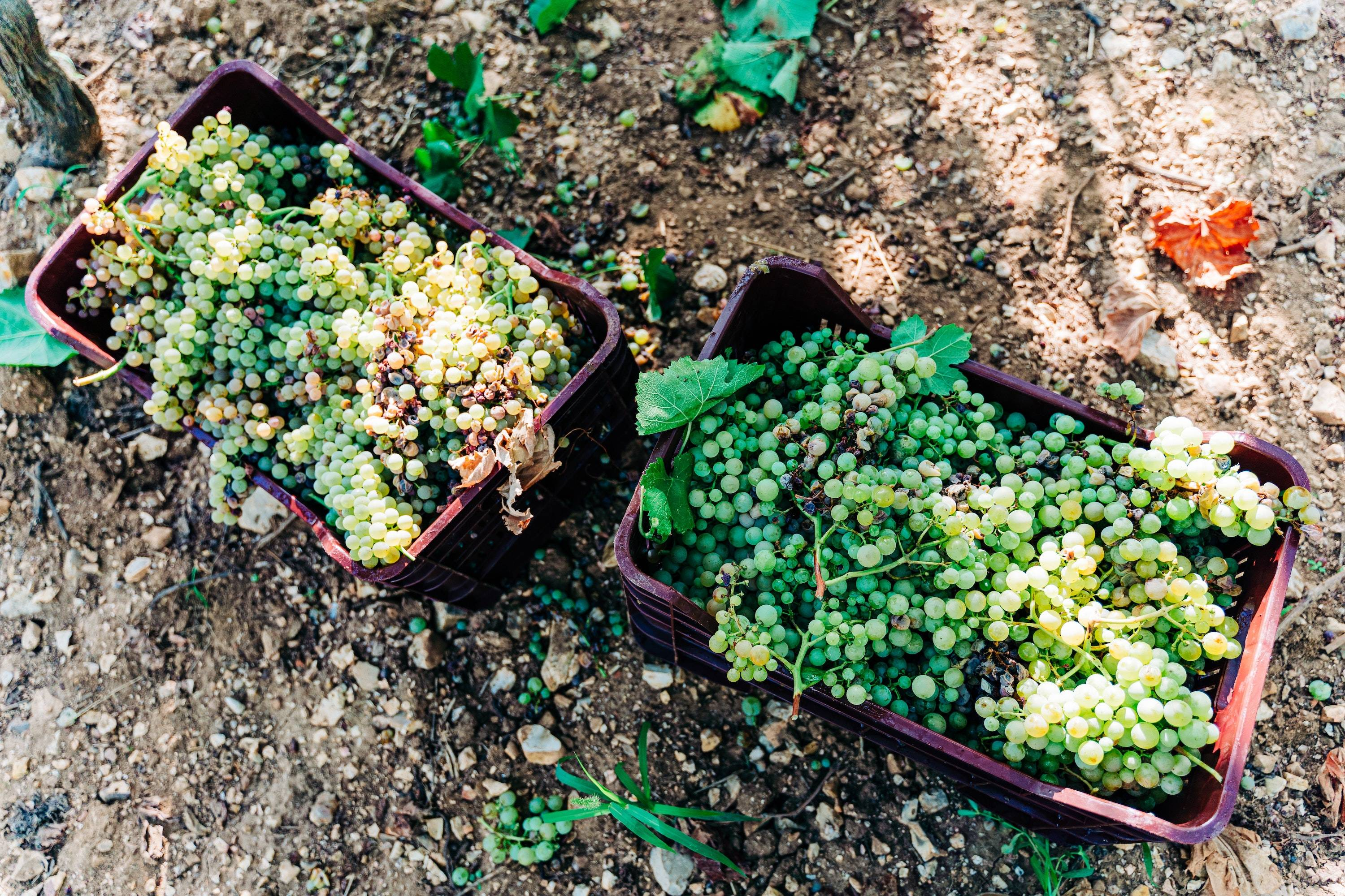 Two big baskets of green Sauvignon Blanc grapes during the initial stages of the winemaking process.