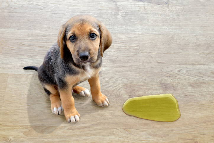 Cute puppy tinkles on the floor