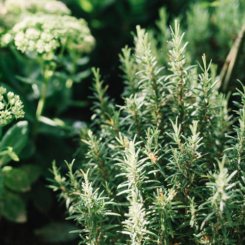 image of rosemary plant