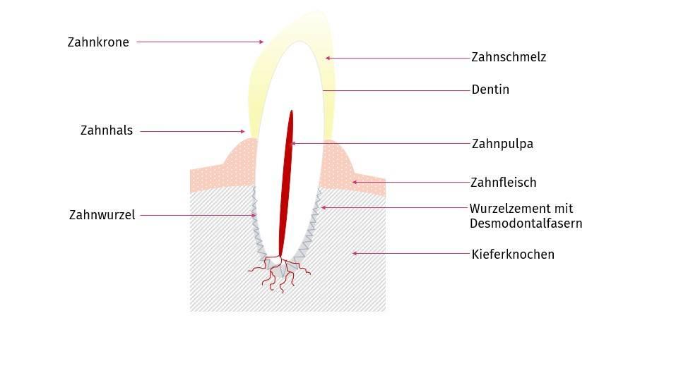 Abbildung: Struktur des Hundezahns