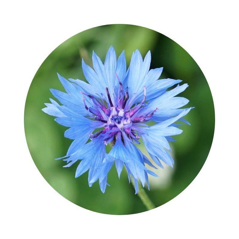 Heilen, Heilwirkung, Wirkung der Kornblume