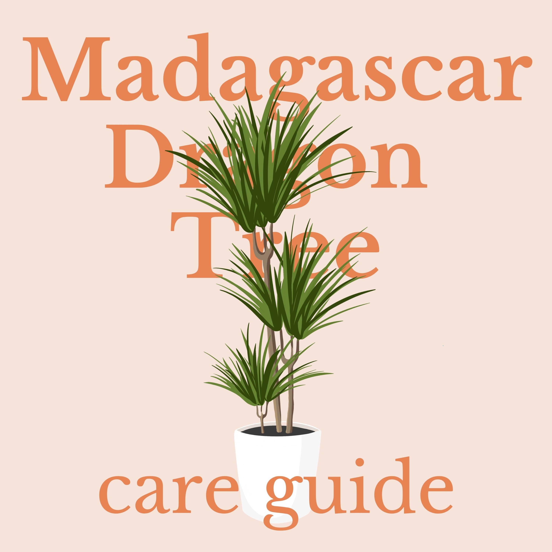 Drawing of Madagascar Dragon Tree