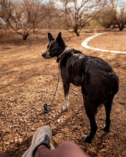 dog tied to the gravity stake by saker in the desert