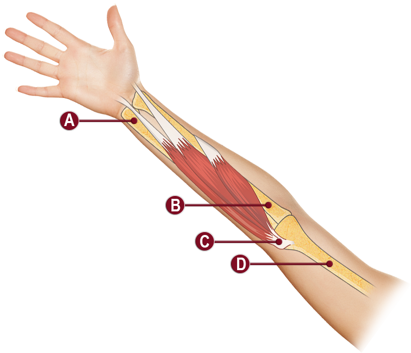 OUTER ELBOW ANATOMY ILLUSTRATION