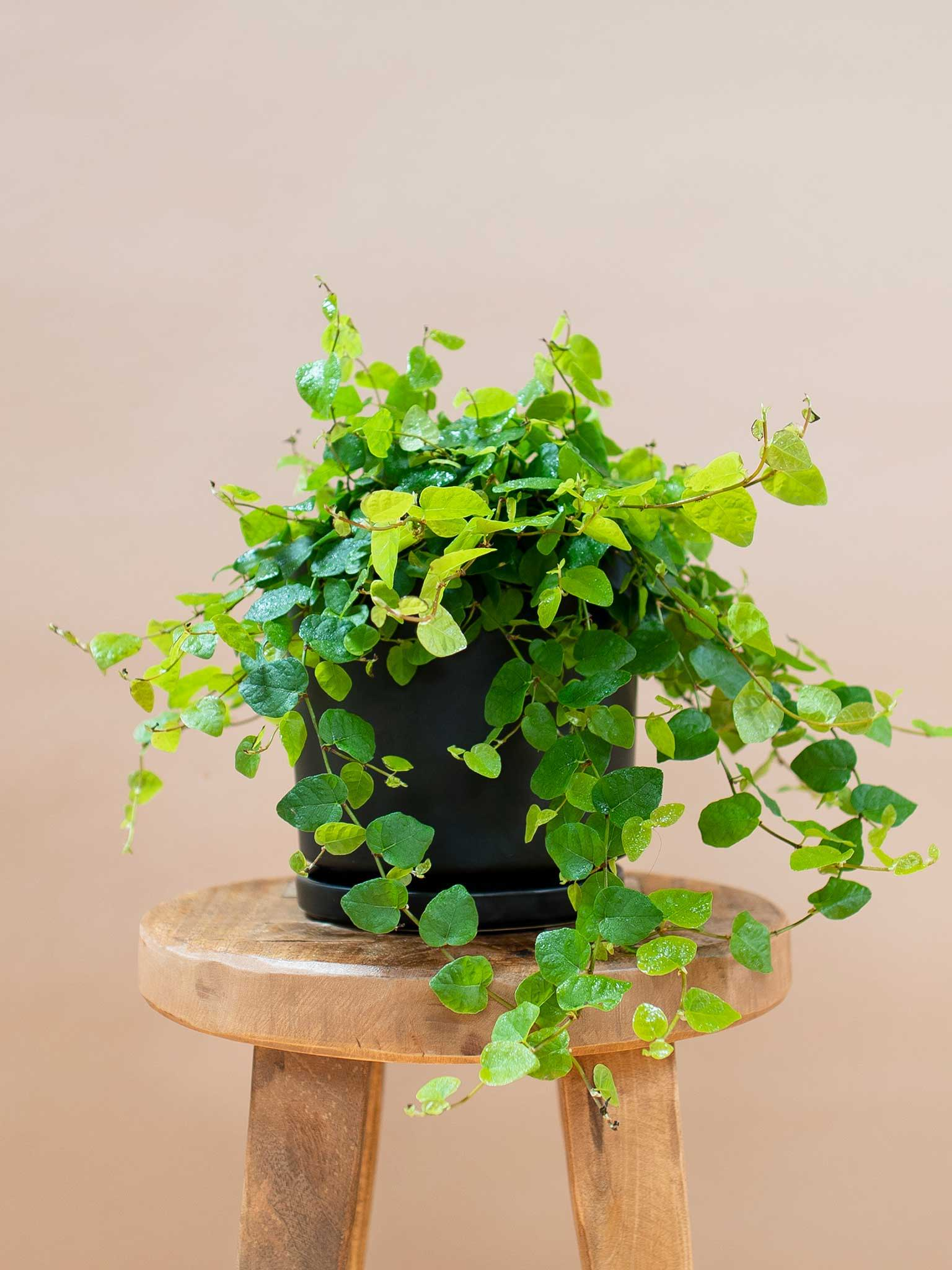 Creeping fig potted on a stool