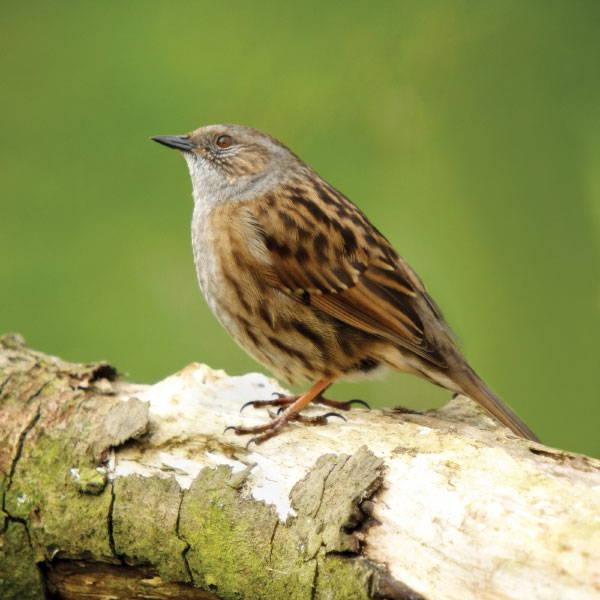 Topflite premium bird feed for dunnock