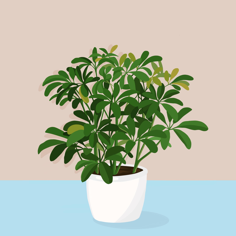 Drawing of Umbrella Plant