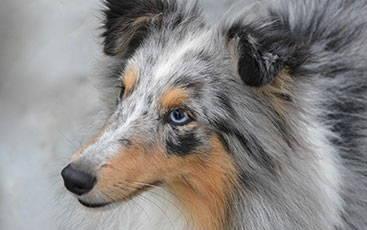 Link zu: MDR1-Gendefekt beim Hund